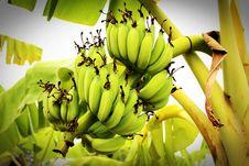Free Green Banana Tree Royalty Free Stock Photo - 82977965