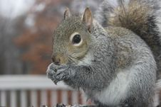 Free Brown Squirrel Outdoors Stock Photography - 82978102