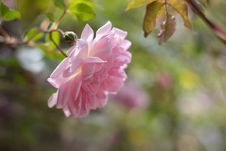 Free Pink Rose Bud On Bush Royalty Free Stock Photos - 82978168