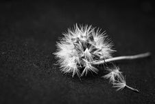 Free White Dandelion Flower Seed On Black Textile Indoors Stock Photos - 82978243