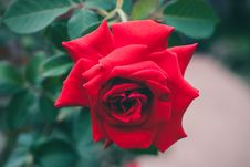 Free Red Rose Royalty Free Stock Images - 82978389