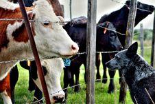 Free Dog Looking At Cows Stock Photos - 82979323