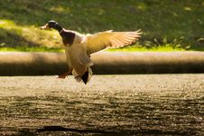 Free Mallard Duck In Flight Royalty Free Stock Photography - 82979437