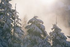 Free Snow Covered Pine Trees Stock Image - 82979641