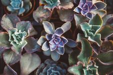Free Echeveria Flowers Stock Photography - 82979642