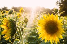 Free Sunflowers Stock Photography - 82980052