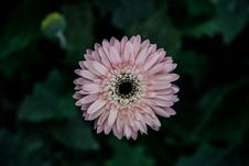 Free Pink Daisy Flower Stock Images - 82980294