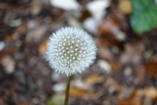 Free Dandelion Flower Seed Head Stock Image - 82980741