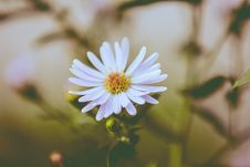 Free Close-up Of Cosmos Flower Royalty Free Stock Photos - 82980748