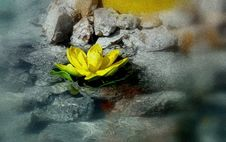 Free Close-up Of Yellow Lotus In Water Stock Photography - 82980882