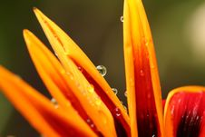 Free Close Up Of Flower With Dew Stock Photography - 82980942