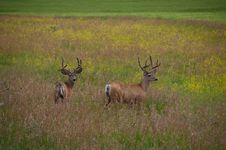 Free Two Deer Stood In Countryside Field Royalty Free Stock Photo - 82980985