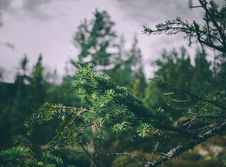 Free Fir Tree Branches Stock Photos - 82982763