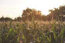 Free Corn Field Stock Photo - 82983010