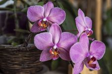 Free Purple And White Moth Orchids Royalty Free Stock Image - 82983106