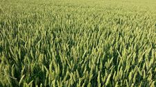 Free Green Wheat Field Stock Images - 82984184
