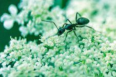 Free Ant On White Flower Stock Photo - 82984210