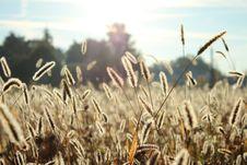 Free Grasses In Sunny Field Stock Photo - 82984630