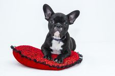Free Black Boston Terrier On Red Pillow Royalty Free Stock Images - 82984829