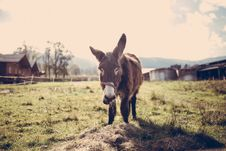 Free Brown Donkey On Green Grass Field During Datiime Stock Photography - 82984892