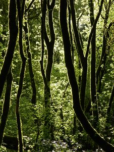 Free Moss Covered Trees In Forest Royalty Free Stock Images - 82984899