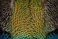 Free Iridescent Peacock Feathers Royalty Free Stock Photos - 82984918