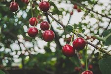 Free Cherries On Branch Royalty Free Stock Photos - 82984958