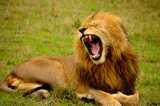 Free Yawning Lion Stock Photography - 82985012