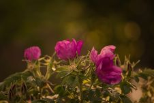 Free Wild Roses Royalty Free Stock Photo - 82985215