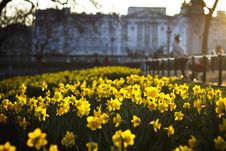 Free Yellow Narcissus Royalty Free Stock Photography - 82985247