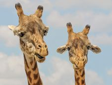 Free Pair Of Giraffes Royalty Free Stock Photos - 82985258