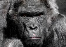 Free Gorilla Animal Royalty Free Stock Images - 82985269