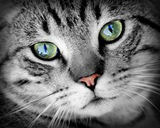 Free Grey Cat With Green Eyes Royalty Free Stock Photography - 82985437