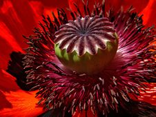 Free Red Poppy Macro Stock Image - 82985471