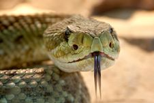 Free Shallow Focus Photography Of Gray Snake With Black Tongue Royalty Free Stock Photos - 82985478