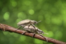 Free Mating Beetles On Branch Royalty Free Stock Photos - 82985538