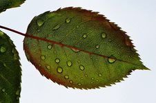 Free Closeup Of Rose Leaf Stock Images - 82985554