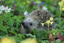 Free Gray Hedgehog Stock Photography - 82985562