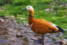 Free Duck Standing On The Shores Of A Lake Royalty Free Stock Images - 82985579