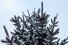 Free Snow Covered Branches On Pine Stock Image - 82985661