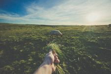 Free Hand Offering Grass To Sheep Royalty Free Stock Image - 82985676