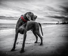 Free Gray Short Coated Medium Sized Dog Stock Photos - 82985893