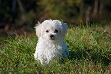 Free White Long Coated Dog On Grassland Royalty Free Stock Image - 82986036