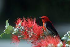 Free Scarlet And Black Honeyeater Stock Image - 82986151