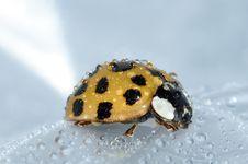 Free Yellow Wet Ladybug Stock Images - 82986244