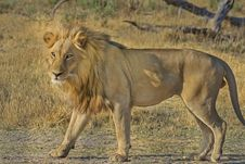 Free African Lion In Field, Botswana Stock Image - 82986351