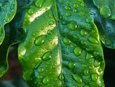 Free Water Drops On Green Leaf Royalty Free Stock Photos - 82986408
