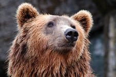 Free Face Of Brown Bear Stock Image - 82986691