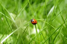 Free Ladybug In Green Grass Stock Photo - 82986700