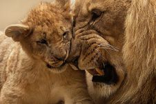 Free Adult Lion Playing With Lion Cub Stock Photo - 82986750